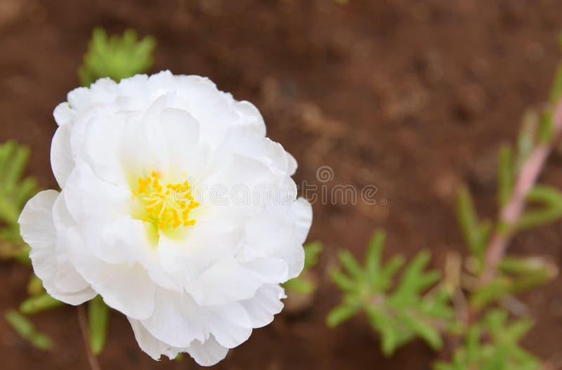 White Portulaca grandiflora flower in the garden. Purslane,Orange moss rose, background with copy space. stock image