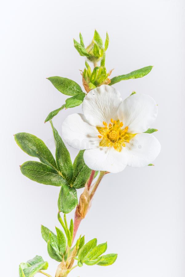 White Potentilla on White. A potentilla flowering white is portrayed on a light, bluish background royalty free stock photos
