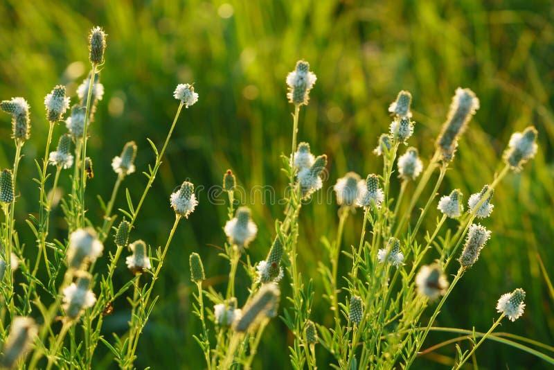 White prairie clover - Dalea candida. Backlit image of white prairie clover in a Kansas field royalty free stock photos