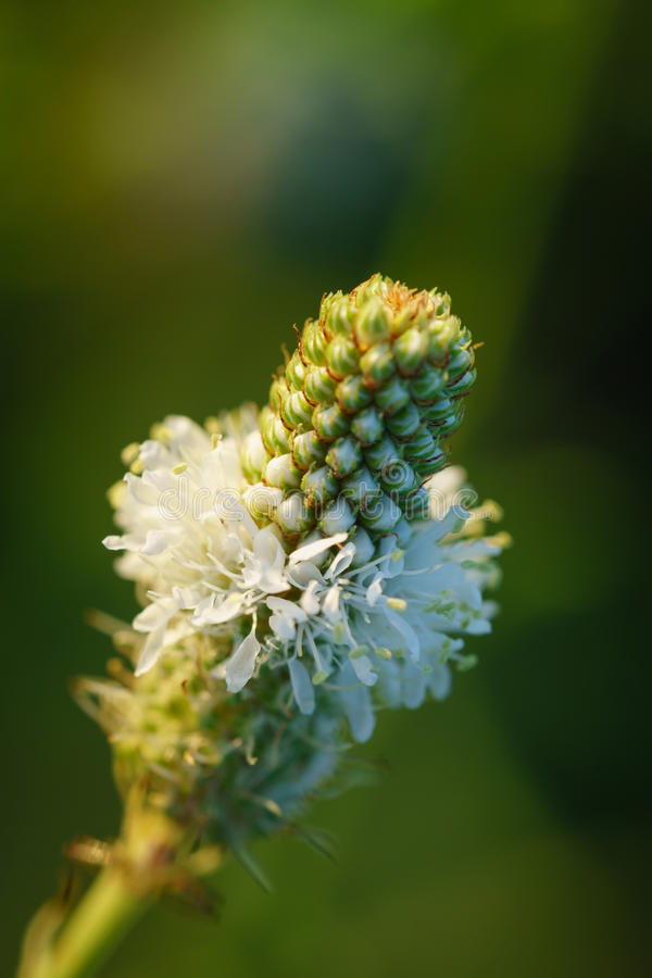 White prairie clover - Dalea candida. Vertical image of a single white prairie clover with a green out of focus background stock photo