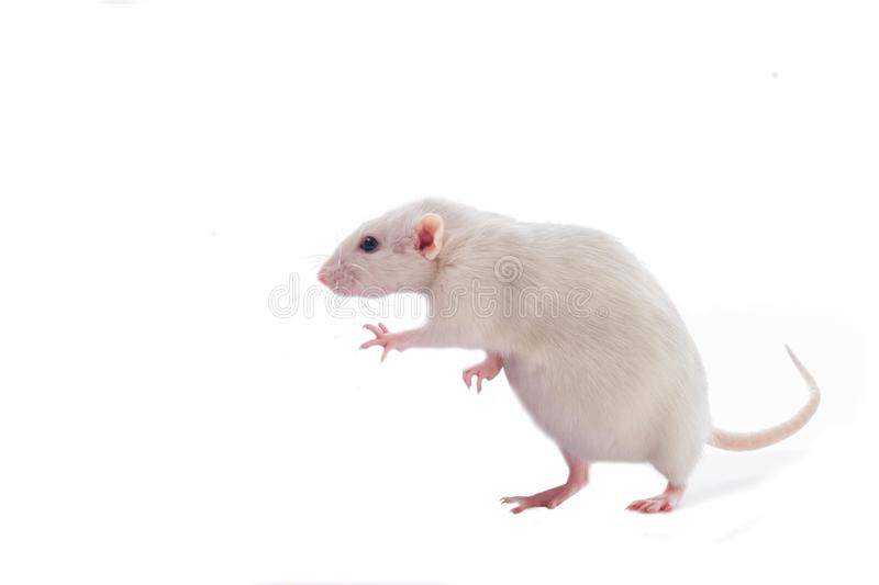White pregnant fat domestic dumbo rat isolated on white background stock photos