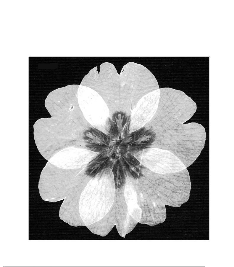 Free White Primrose Flower Stock Photo - 8599500