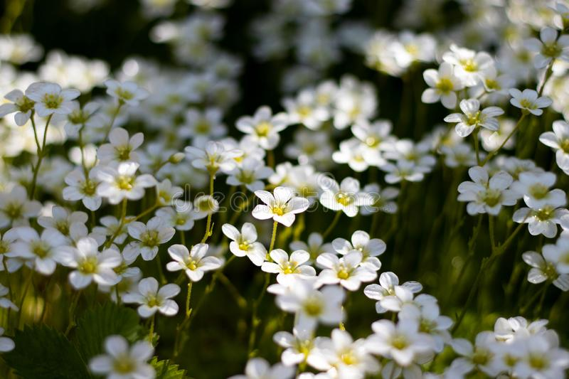 White primroses under the sunlight royalty free stock images