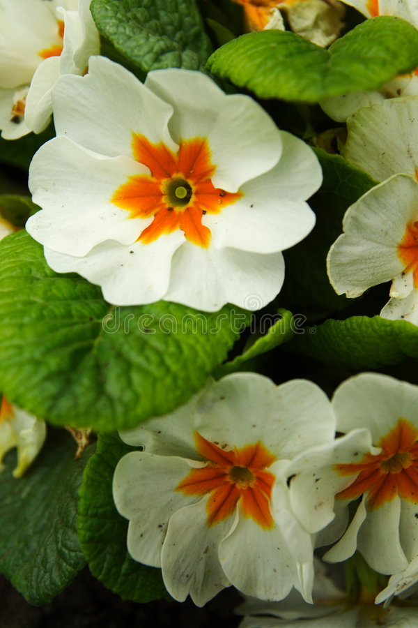 White primula flowers royalty free stock images