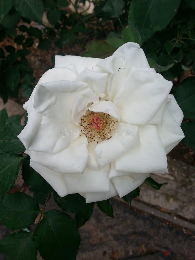 White Princess royalty free stock photos