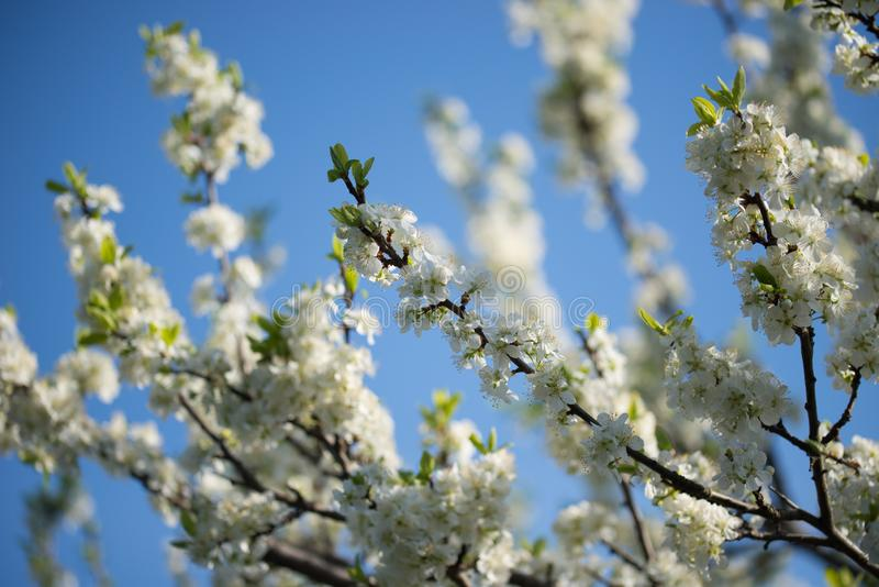 White prunus avium,  wild cherry, sweet cherry, or gean flowers on tree twig selective focus. On blue sky stock images