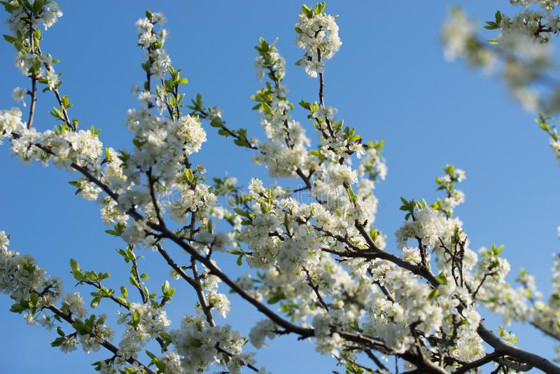 White prunus avium,  wild cherry, sweet cherry, or gean flowers on tree twig selective focus. On blue sky stock image