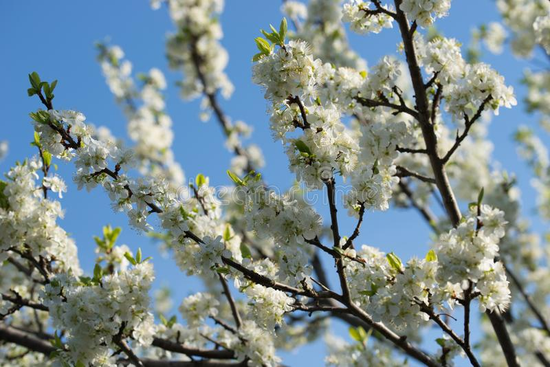 White prunus avium,  wild cherry, sweet cherry, or gean flowers on tree twig selective focus. On blue sky stock photos