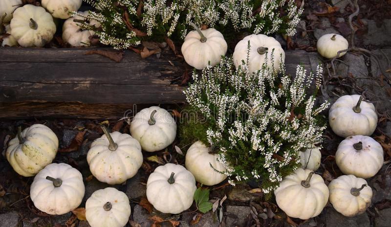White Pumpkins Decoration stock images stock photo