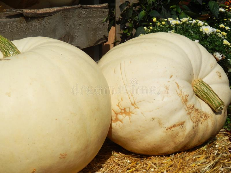 White pumpkins on straw bale royalty free stock images