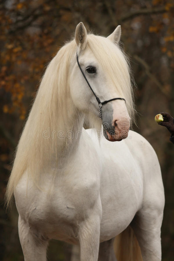 White punch horse in autumn. Autumn portrait of a white punch horse with an apple royalty free stock photos
