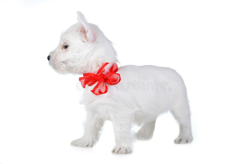 White Puppy Stock Images
