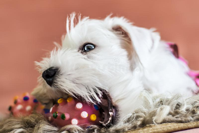 White puppy biting a rubber toy, miniature Schnauzer plays with a toy stock image