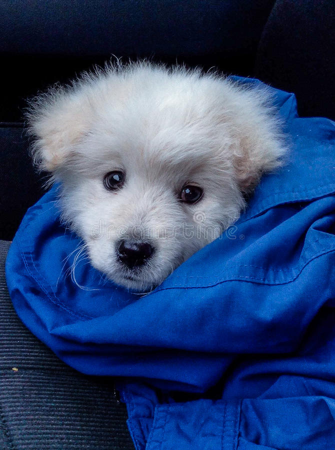 White puppy and the Blue Jacket royalty free stock image