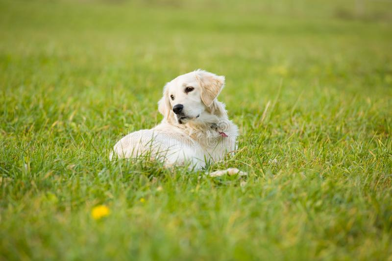 White puppy golden retriever dog lays in the middle of grass covered field. stock photography