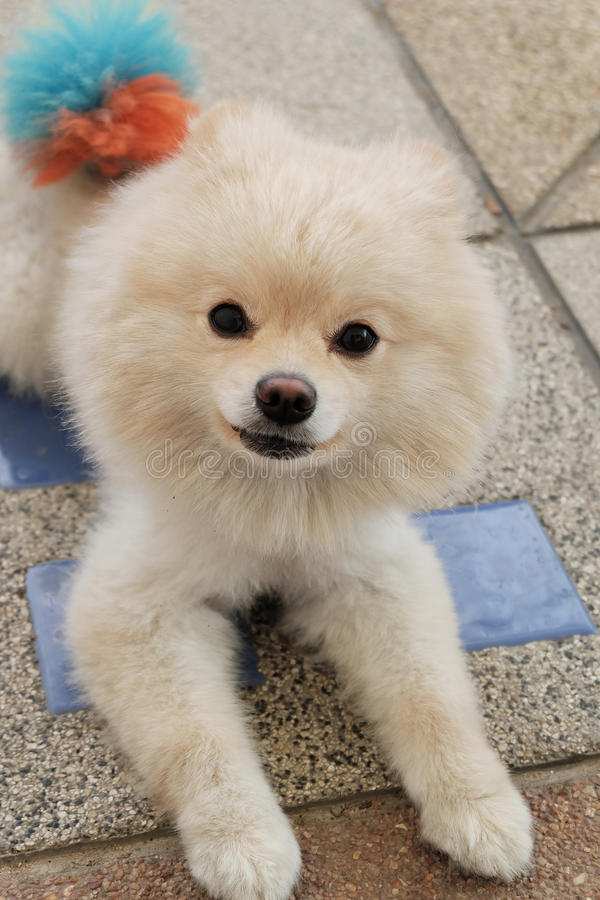 Great Pomeranian Canine Adorable Dog - white-puppy-pomeranian-dog-cute-pets-looking-camera-60459344  Photograph_512569  .jpg