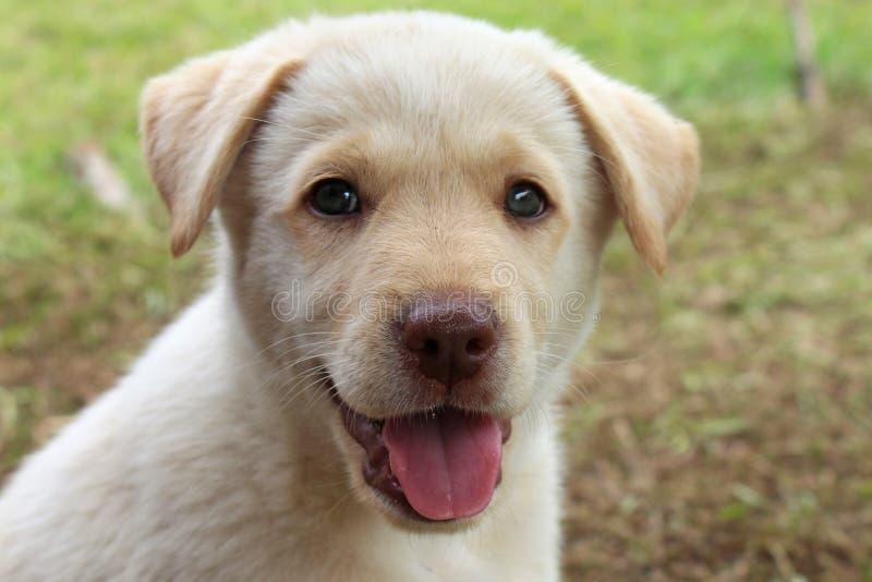 White puppy portrait stock image
