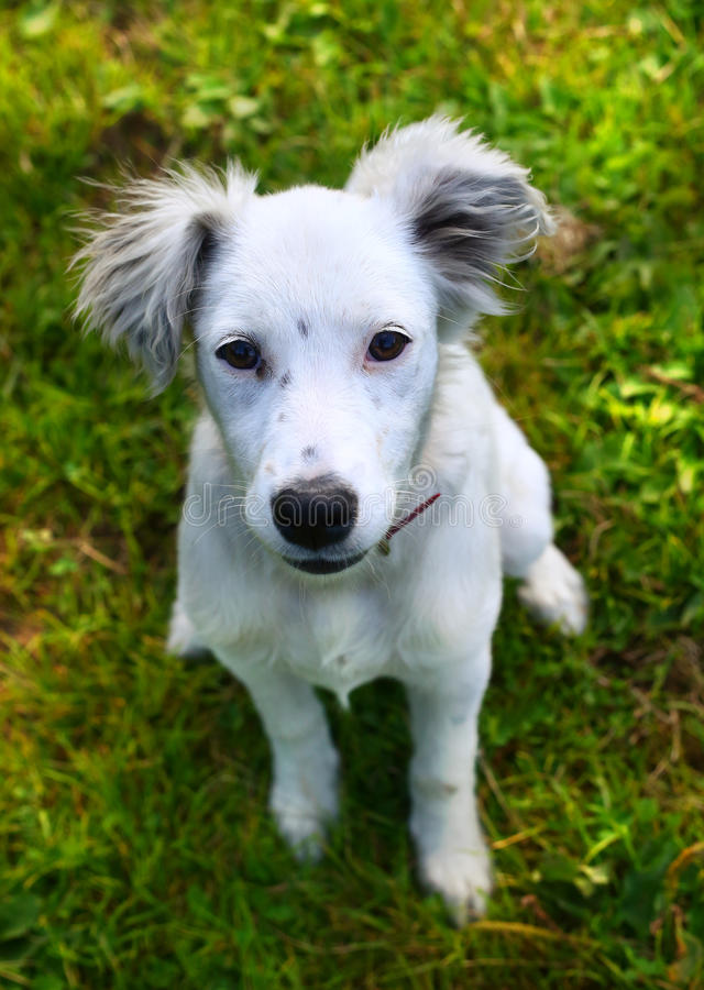 White puppy on the summer green background royalty free stock photo