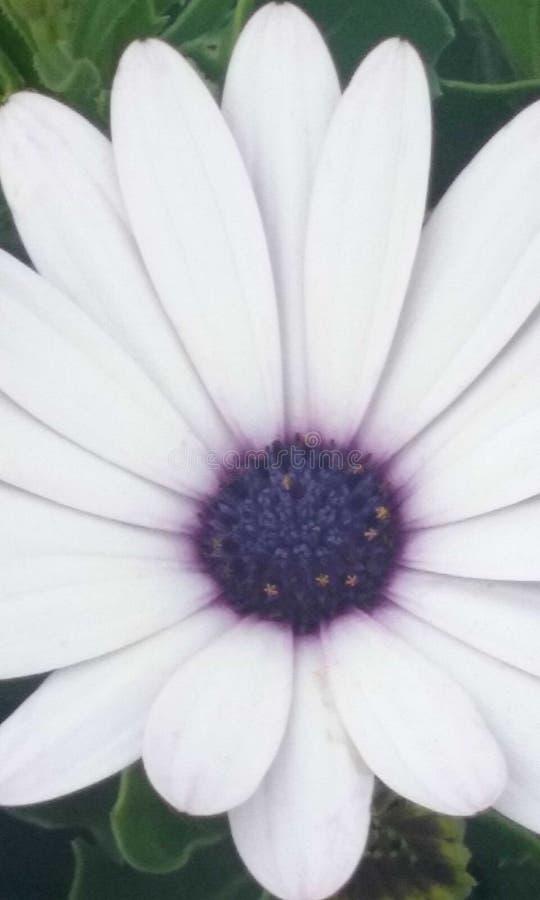 White&purple fotografering för bildbyråer
