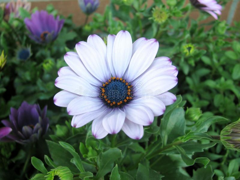 White and purple african daisy flowers. Osteospermum. White and purple african daisy flowers in the garden royalty free stock photography