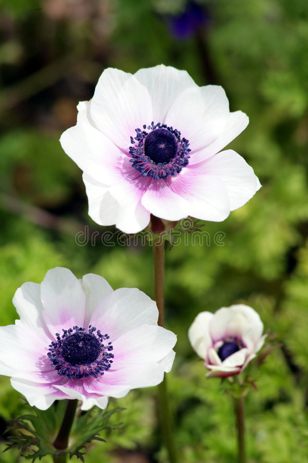 White and purple anemones. Found in England, Cornwall stock photo