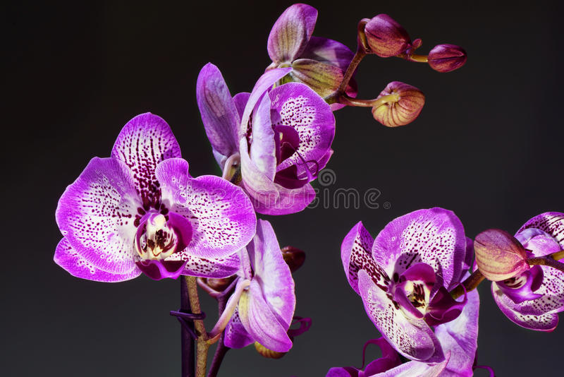 White and purple blooming orchid. Bouquete, close up, spring time stock photos