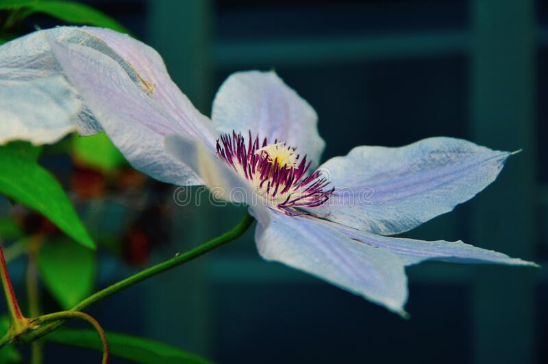 White And Purple Broad Petal Flower Free Public Domain Cc0 Image