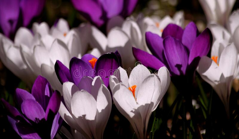 White Purple Crocus Flower During Daytime Free Public Domain Cc0 Image
