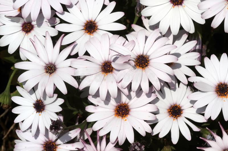 White and purple daisies bloom in spring. On the flowers stock image