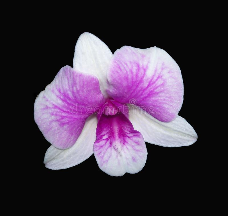 White and purple Dendrobium Orchid on a dramatic black background. White and purple Dendrobium Orchid is centered on a dramatic black background stock image