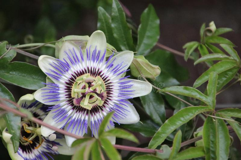 White and purple flower head in close-up of the passion flower or passieflora. White and purple flower head in close-up of the passion flower or passieflora royalty free stock photography