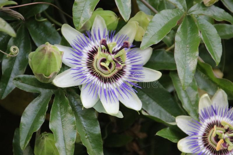 White and purple flower head in close-up of the passion flower or passieflora. royalty free stock image
