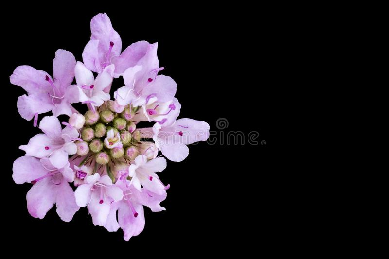 White and purple flower isolated on black. With copyspace on the right stock photography