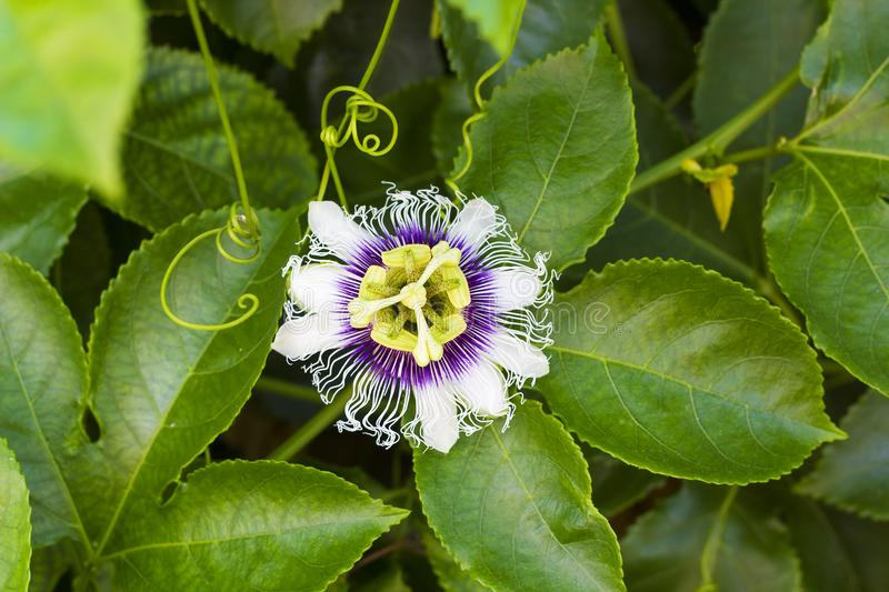 White with purple flower Passiflora edulis. Passion flower. S or passion vines, top view stock images