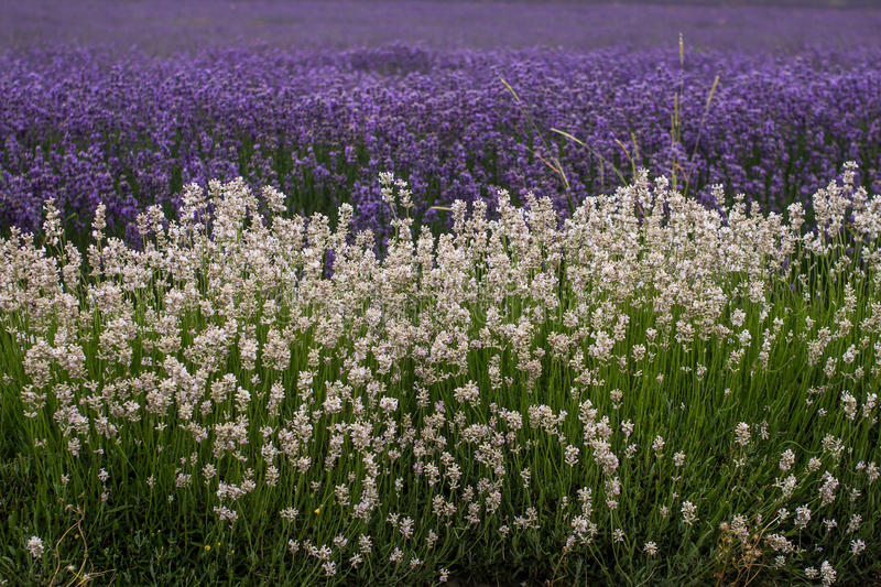 White and Purple Lavender. Field royalty free stock images