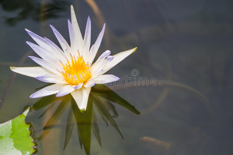 White and purple lilies on water in the evening. White and purple lilies on water in the evening time royalty free stock images
