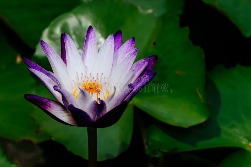 White-purple Lotus on a green background. White-purple Lotus flower background for reference picture. website background, studies, etc stock photos