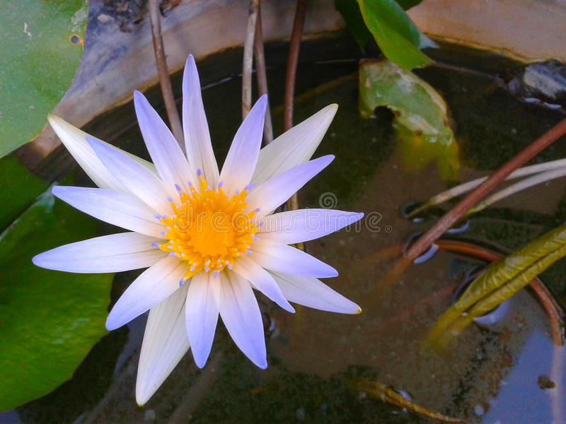 White purple lotus. On water stock images