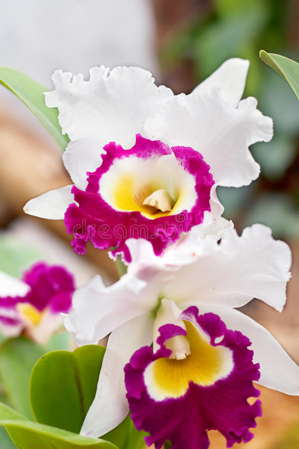 White and Purple Orchid. A close up of a white and purple orchid royalty free stock photos