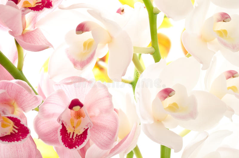 White and purple orchid royalty free stock photography