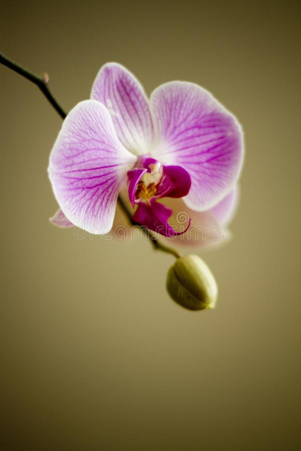 White and Purple Orchid stock photos