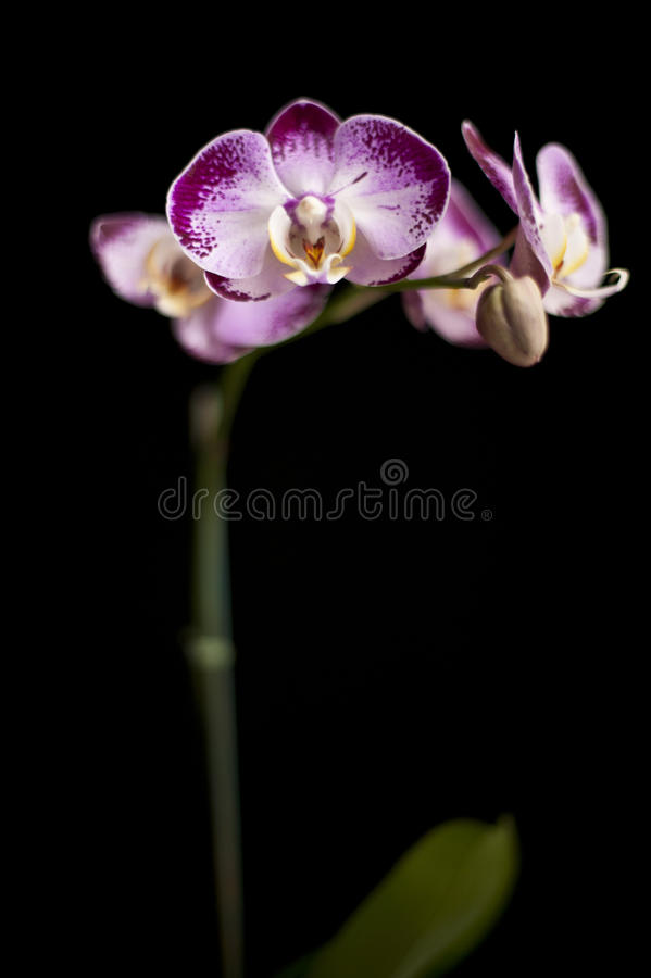 White and Purple Orchid in a Black background royalty free stock image