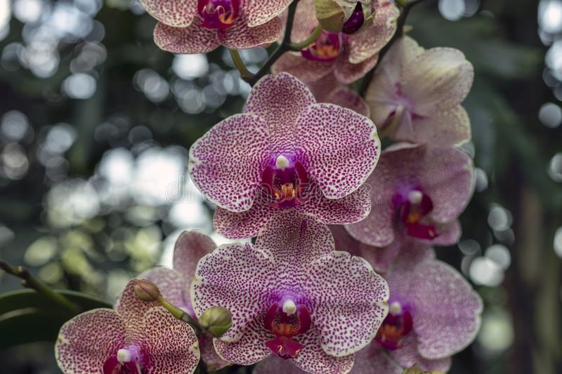 White and Purple Orchid Blooms royalty free stock photography