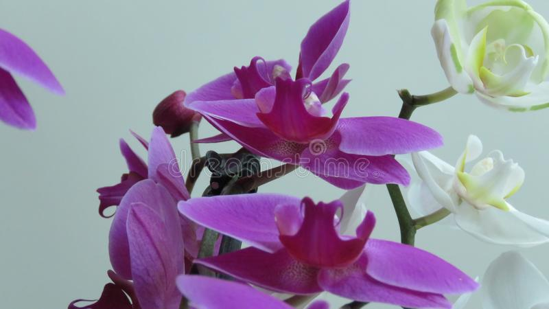 White and Pink Purple Orchid. Grey Background. Phalaenopsis known as moth. Orchids. A Bunch of Beautiful Blooming White and Purple Orchids on Grey Background royalty free stock image