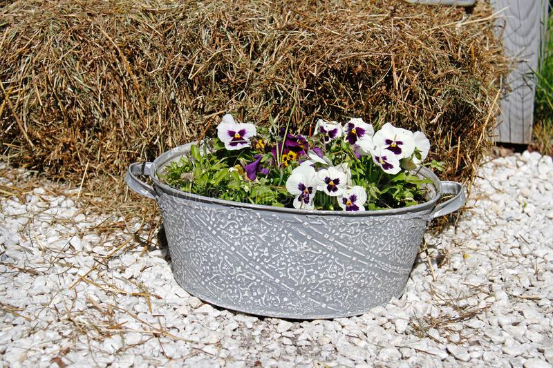 White-purple pansies in vintage bath tube standing on the stones near hay. In the garden stock photography