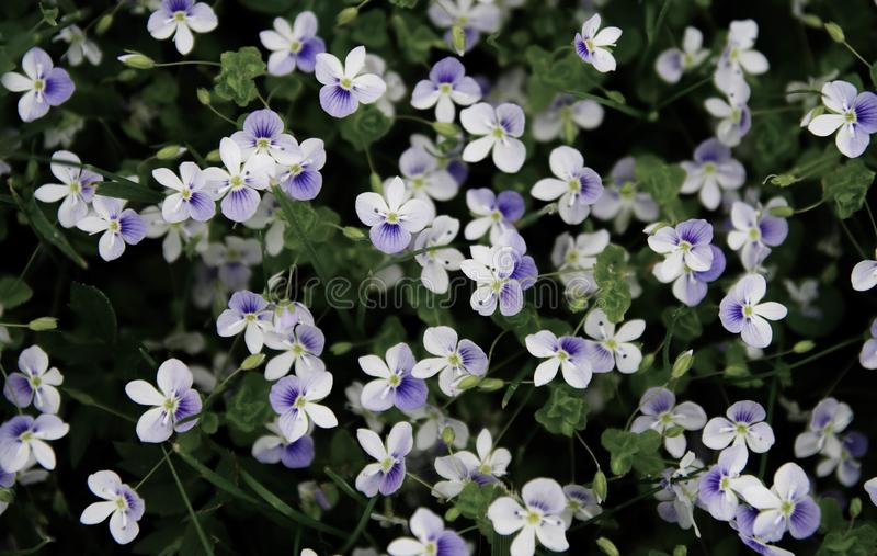 White and Purple Petaled Flowers stock images