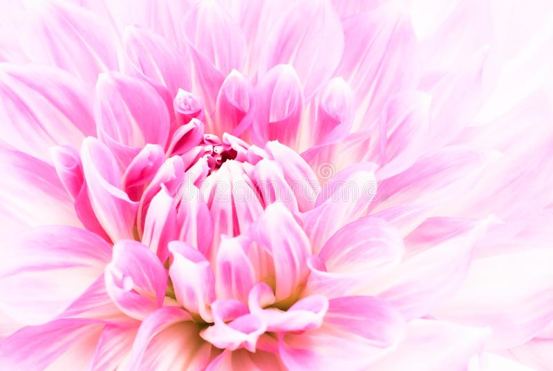 White and purple pink colourful dahlia flower macro photo with fresh blossoming flower head details floral background stock images