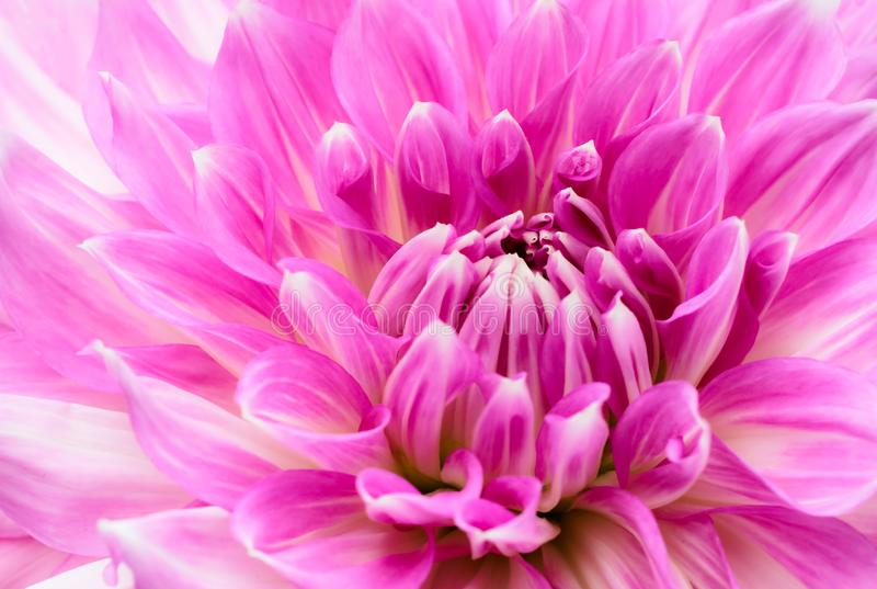 White and purple pink colourful dahlia flower macro photo with intense vivid colors with beautiful fresh blossoming flower stock photography