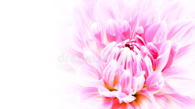 White and purple pink colourful dahlia flower macro photo with intense vivid colors in white wide banner empty background royalty free stock photography