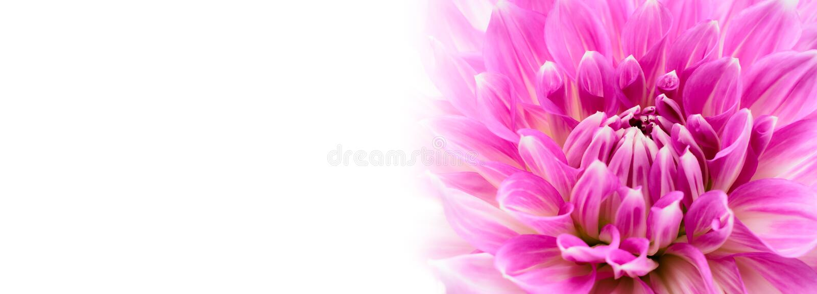 White and purple pink colourful dahlia flower macro photo with intense vivid colors in white wide banner empty background panorama. White and purple pink stock image